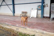 Zizel / Dog de Bordeaux