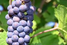 Lovely Grapes / by Majestic Wine