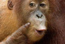 BILDER - Apor / Orangutanger