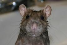 I Love Rat