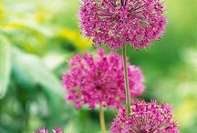 Allium [Bulbs,Corms,Tubers,Rhizomes] / Allium - Allium also includes hundreds of ornamental species, Including its edible varieties—onions, garlic, chives, shallots and leeks—  / by Christine Sinclair