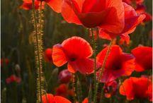 best poppies