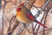 northern cardinals / by Brenda Johnson