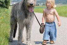 Irish Wolfhound / by Middendorf Animal Hospital