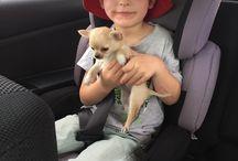 Chihuahua / Princess Sparkles