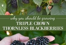 Growing Berries / Tips for growing all sorts of berries - popular and less-common alike.
