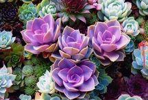 Oh Succulents!