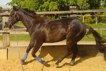 Chevaux. Horses / Equidés
