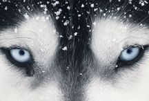 Huskies 4ever / by Linda Matson