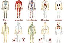 EL CUERPO HUMANO / A través de estas magníficas  ilustraciones  nos   permitirán  conocer más a nuestro cuerpo,  tratar de cuidarlo y mantenerlo sano,  sin pretender a llegar ser unos expertos, que para eso contamos con los especialistas en Medicina.