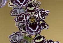 Orchids , stunningly breathtaking