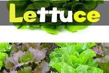 Grow organic Lettuce