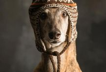 Greyhounds - Dressed for the winter