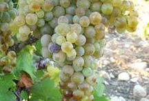 Catarratto - one of the most common truly Sicilian white wines