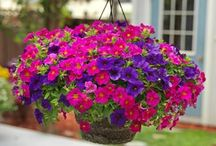 SuperCal® / The All Weather Petunia®