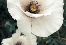white and pink poppy