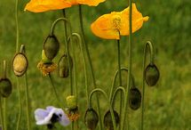 coquelicots / compositions