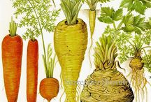 Root Vegetables - Carrots and Beyond  / All things Root Vegetables. Carrots, Parsnips, Radish,Cardoons, Celery, Etc. Grow them and find the recipes here. Organic and No GMO's