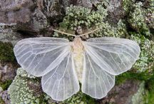 Moth's