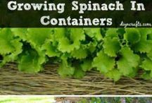 grow spinach in pots