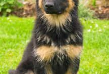 I love german sheperd