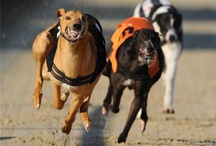 GreyHound / Señor Perry Lennon-Chester and other racing GreyHounds. Galgos, the special dog / by Fernando Claro