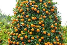 Pflanzen: Mandarine - Klementine / Mandarine oder Klementine / Mandarin Orange or Clementine + Zitrusfrüchte - Zitruspflanzen / Citrus