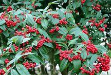 Shrubs for Summerford Cottage / Woodland shrubs suitable for shade including bog garden plants