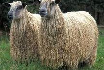 Wensleydale sheep breed study / 2017