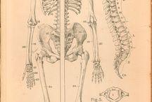 Anatomy / Анатомия