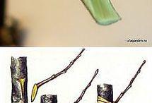 прививки для деревьев.