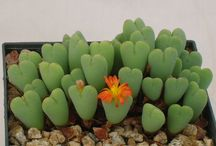 Succulent - Conophytum