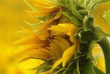 Flower of the Sun