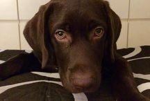 Pluto: Labrador Retriever / O meu cão!