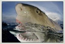 UW Vertibrates:  Fish 'n Sharks / Sharks, rays, stingrays, fish, marine reptiles / by Carolyn Sorensen