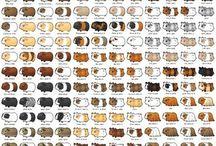 Guinea pigs: Breeds