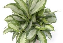Chinese Evergreen / Chinese Evergreens make a great no-fuss plant for virtually in spot in your home.