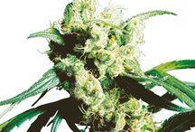 Kannabislajikkeet / Muhkeimmat ja mehukkaat kannabislajikkeet