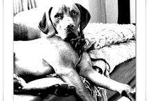 Vizsla aka Velcro Dog ❤️