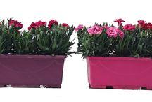 """[#clavel] colección """"la vie en rose"""" Peman / Nuestra fantástica colección de claveles. En diferentes formatos y colores!"""