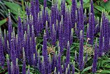Coastal Garden with purple / garden coastal