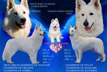 White swiss shepherd Puppy plan 2015 / Puppy plan 2015