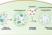 Immunology: Immunoregulation by cell death - Regulación por muerte celular