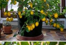 growing a lemon tree