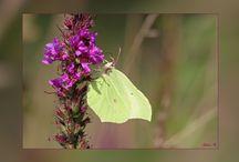 Nederlandse vlinders