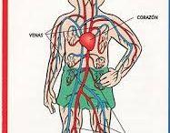 Człowiek - narządy wewnętrzne
