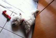 Luna, my Westie / My Westie, the most clever dog