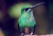 Hummingbirds / Hummingbirds