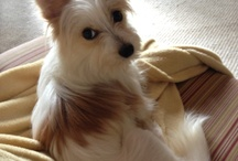 Miss Minnie ~ Morkie Love / A Morkie is a mutt...a cross between a Yorkie and a Maltese.  Miss Minnie really needs an agent! I've had many pets, but this gal is outrageous! She has attitude and spunk.  But you be the judge...and if you're an agent...call me! / by Penny Barlett