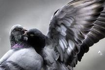 duiwe